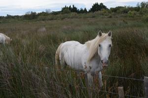 A Camargue Horse
